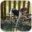 Photo 4 - Treeing Walker Coonhound Dog for adoption in New Fairfield, Connecticut - Chloe