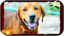 Redbone Coonhound/Labrador Retriever Mix Dog for adoption in Foster, Rhode Island - Cadillac