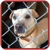 Shar Pei/Terrier (Unknown Type, Medium) Mix Dog for adoption in Foster, Rhode Island - Tinkerbelle-Urgent! Reduced!