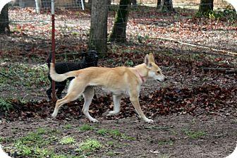 Carolina Dog Mix Dog for adoption in Flower Mound, Texas - Maya