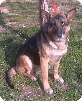 German Shepherd Dog Dog for adoption in Nashville, Tennessee - Lucy
