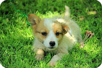 Australian Shepherd/Border Collie Mix Puppy for adoption in Staunton, Virginia - Holden