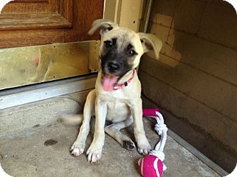 Boxer/German Shepherd Dog Mix Puppy for adoption in Eddy, Texas - Gigi - Courtesy Post