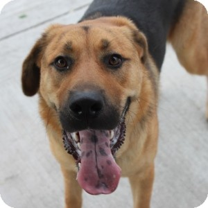 Shepherd (Unknown Type) Mix Dog for adoption in Naperville, Illinois - Charlie 2