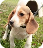 Beagle Puppy for adoption in Plainfield, Connecticut - Lightening