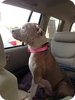 American Pit Bull Terrier Mix Dog for adoption in Scottsdale, Arizona - Christmas
