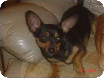 Chihuahua/Dachshund Mix Dog for adoption in Eaton, Indiana - Larry