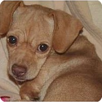 Adopt A Pet :: Zoey - Westfield, IN
