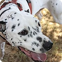 Adopt A Pet :: Perdi - Phoenix, AZ