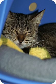 Domestic Shorthair Cat for adoption in Englewood, Florida - Misha