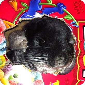 Chinchilla for adoption in Granby, Connecticut - CheeChee