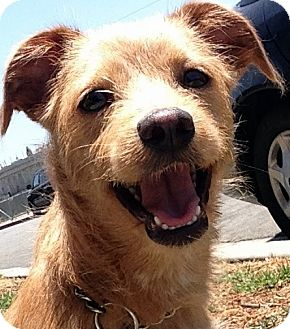 Terrier (Unknown Type, Small)/Dachshund Mix Dog for adoption in Los Angeles, California - HARRISON (video)