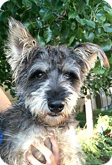 Schnauzer (Miniature)/Poodle (Miniature) Mix Dog for adoption in Boulder, Colorado - Henry-ADOPTION PENDING