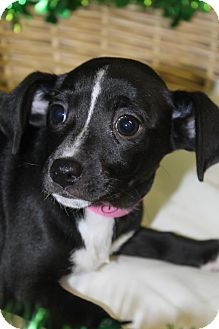 Rat Terrier Mix Puppy for adoption in Waldorf, Maryland - Quiver