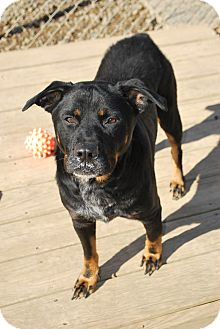 Rottweiler/Blue Heeler Mix Dog for adoption in Berea, Ohio - Timmy