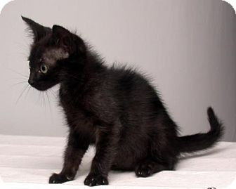 Domestic Shorthair Kitten for adoption in Fayetteville, Georgia - Bitsy
