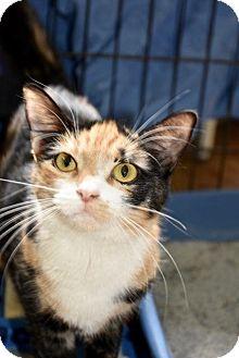 Calico Cat for adoption in Danbury, Connecticut - Sweeney