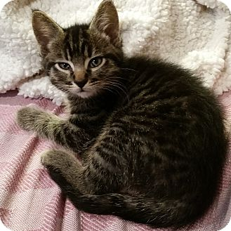 Domestic Mediumhair Kitten for adoption in Portland, Oregon - Keanu