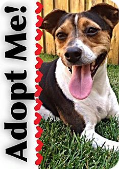 Jack Russell Terrier Mix Dog for adoption in Mount Hope, Ontario - Douglas