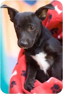 Dachshund/Rat Terrier Mix Puppy for adoption in Portland, Oregon - Donny