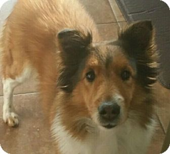 Sheltie, Shetland Sheepdog Mix Dog for adoption in Ypsilanti, Michigan - Hazel