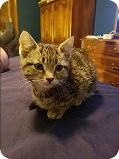 Domestic Shorthair Kitten for adoption in Hainesville, Illinois - Colby