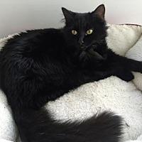 Turkish Angora Cat for adoption in Santa Fe, New Mexico - Moreno