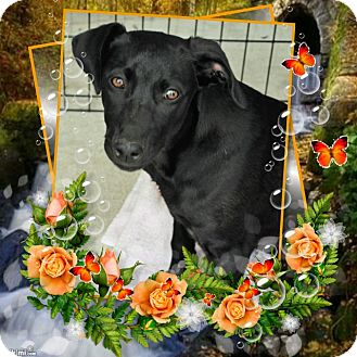 Labrador Retriever/Terrier (Unknown Type, Medium) Mix Dog for adoption in Crowley, Louisiana - Tia