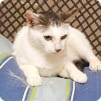 Domestic Shorthair Cat for adoption in Americus, Georgia - Catsy Cline