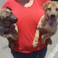 Adopt A Pet :: Chubs - Las Cruces, NM
