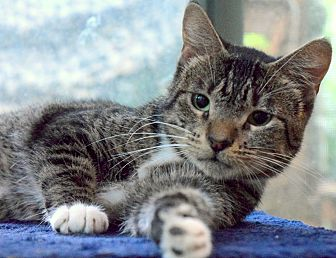 Domestic Shorthair Cat for adoption in Mount Pleasant, South Carolina - Miss Kitty