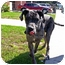Photo 4 - Great Dane Puppy for adoption in Los Angeles, California - DODGER