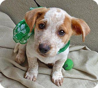 Blue Heeler/Basset Hound Mix Puppy for adoption in Baton Rouge, Louisiana - Paddy