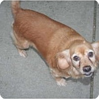 Adopt A Pet :: Stella - Westfield, IN