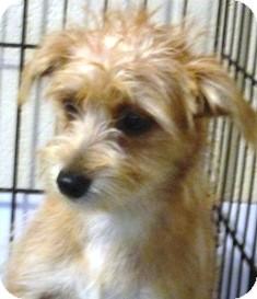 Yorkie, Yorkshire Terrier/Maltese Mix Puppy for adoption in Oswego, Illinois - I'M ADOPTED Libby Litkenhus