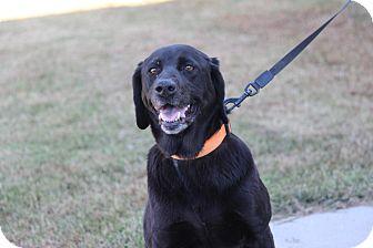Labrador Retriever Mix Dog for adoption in Brattleboro, Vermont - Jodi