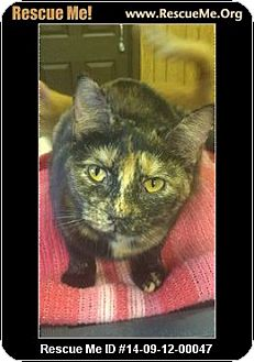 American Shorthair Cat for adoption in Holden, Missouri - Stacie