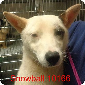 Australian Cattle Dog Mix Dog for adoption in Greencastle, North Carolina - Snowball