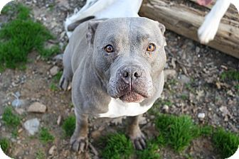 American Staffordshire Terrier/American Bulldog Mix Dog for adoption in Sacramento, California - Prada!