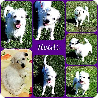 Terrier (Unknown Type, Small) Mix Dog for adoption in Joliet, Illinois - Heidi