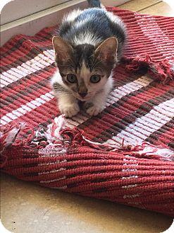Domestic Shorthair Kitten for adoption in Palm Springs, California - Tam Tam