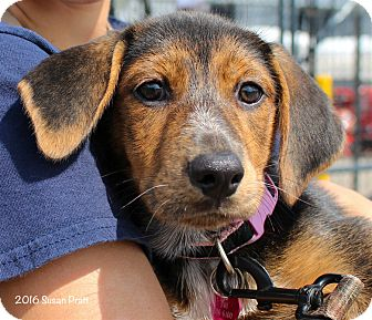 Shepherd (Unknown Type)/Hound (Unknown Type) Mix Puppy for adoption in Bedford, Virginia - Haley