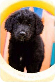 Golden Retriever/Labrador Retriever Mix Puppy for adoption in Portland, Oregon - Cisco