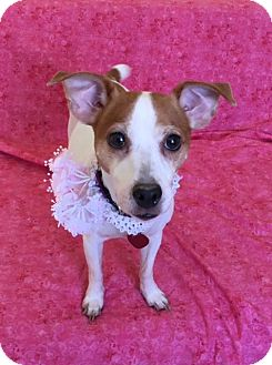 Jack Russell Terrier Mix Dog for adoption in Philadelphia, Pennsylvania - Chole