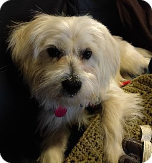 Maltese/Terrier (Unknown Type, Small) Mix Dog for adoption in Las Vegas, Nevada - Egbert