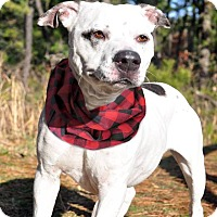 Adopt A Pet :: Patches - Manahawkin, NJ