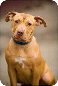 Pit Bull Terrier Puppy for adoption in Portland, Oregon - Lulu