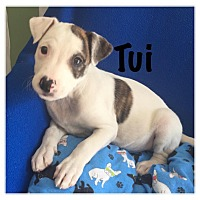 Adopt A Pet :: Tui - Joliet, IL