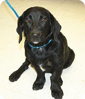 Basset Hound/Labrador Retriever Mix Dog for adoption in Sparta, New Jersey - Rainelle