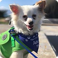 Adopt A Pet :: Fox - San Francisco, CA